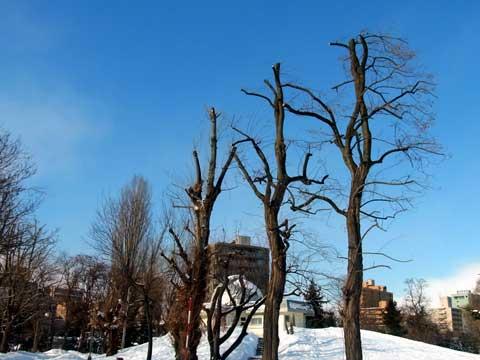 2012年1月24日天文台前剪定