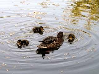 しかし、親子鴨だけは見分ける方法がある。数と大きさで、だいたいの見当が... 2007年中島公園